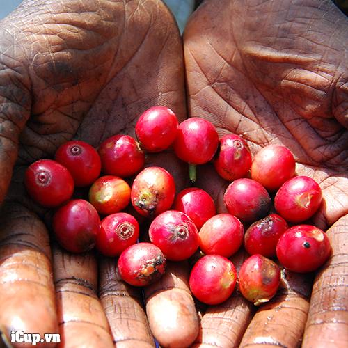 Cà phê Kenya canh tác hoàn toàn hữu cơ