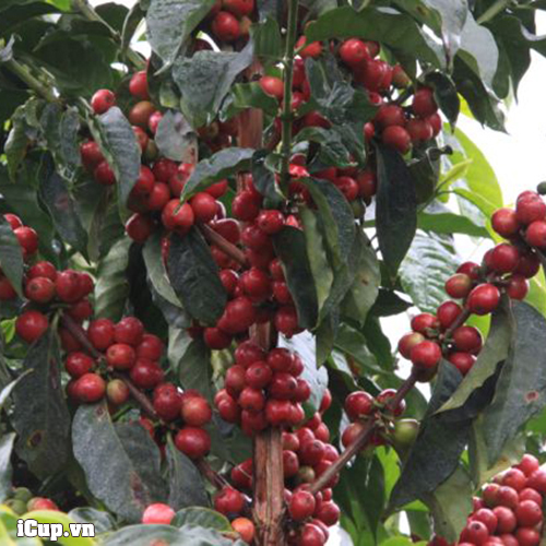 Cây cà phê trồng tại Kenya