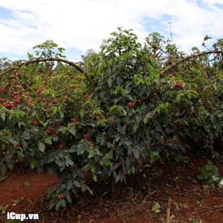 Sản lượng cà phê Kenya chỉ vừa đủ dùng