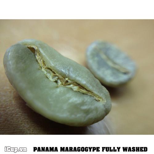 Hạt cà phê nhân panama Maragogype có kích thước gấp đôi so với những hạt typica khác