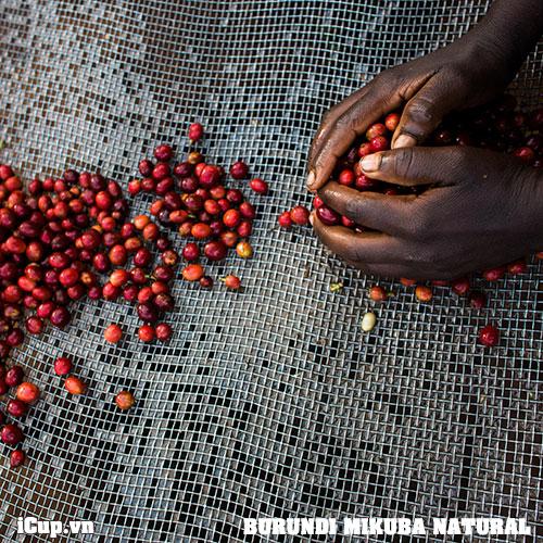 Cà phê Burundi Mikuba là những hạt Red bourbon chín mọng