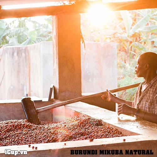 Người nông dân Mikuba bên cà phê mới thu hái về