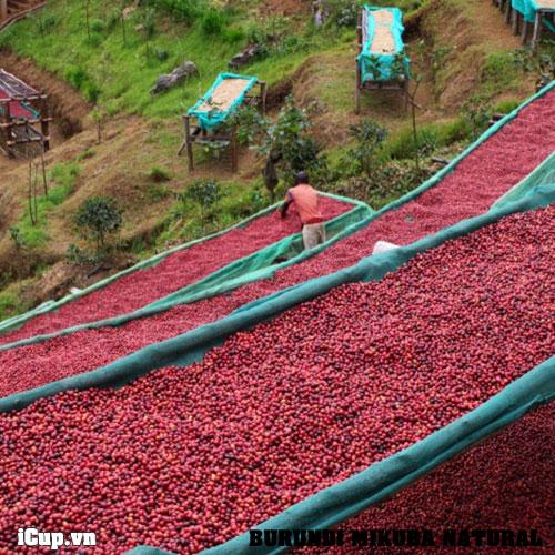 Những trái cà phê Red Bourbon phơi khô tự nhiên trên giàn phơi tại Mikuba